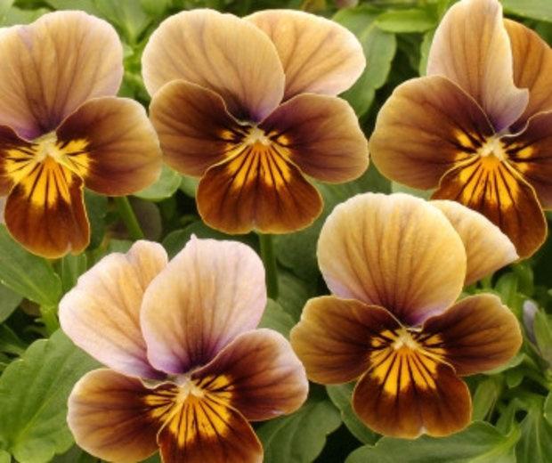 Благодаря своему раннему цветению и разнообразию видов виола держится на пике популярности уже много лет и привлекает внимание селекционеров.