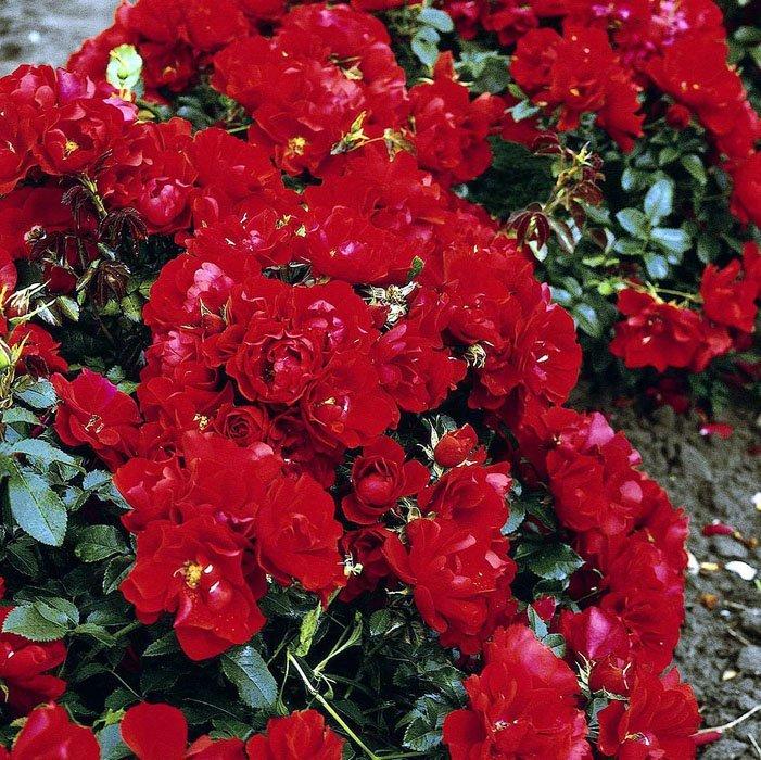 Купить почвопокровные розы в харькове, доставки