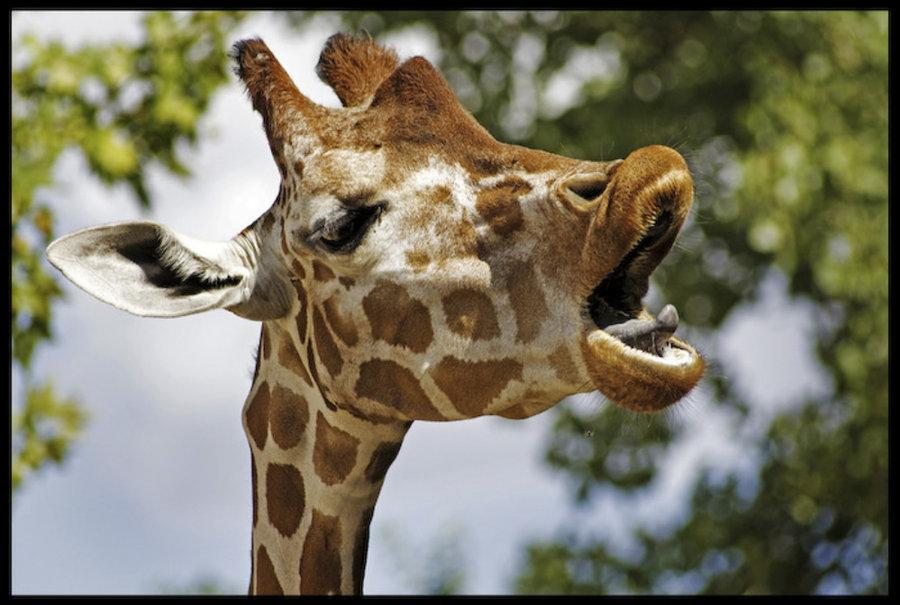 Три, приколы картинки жирафов