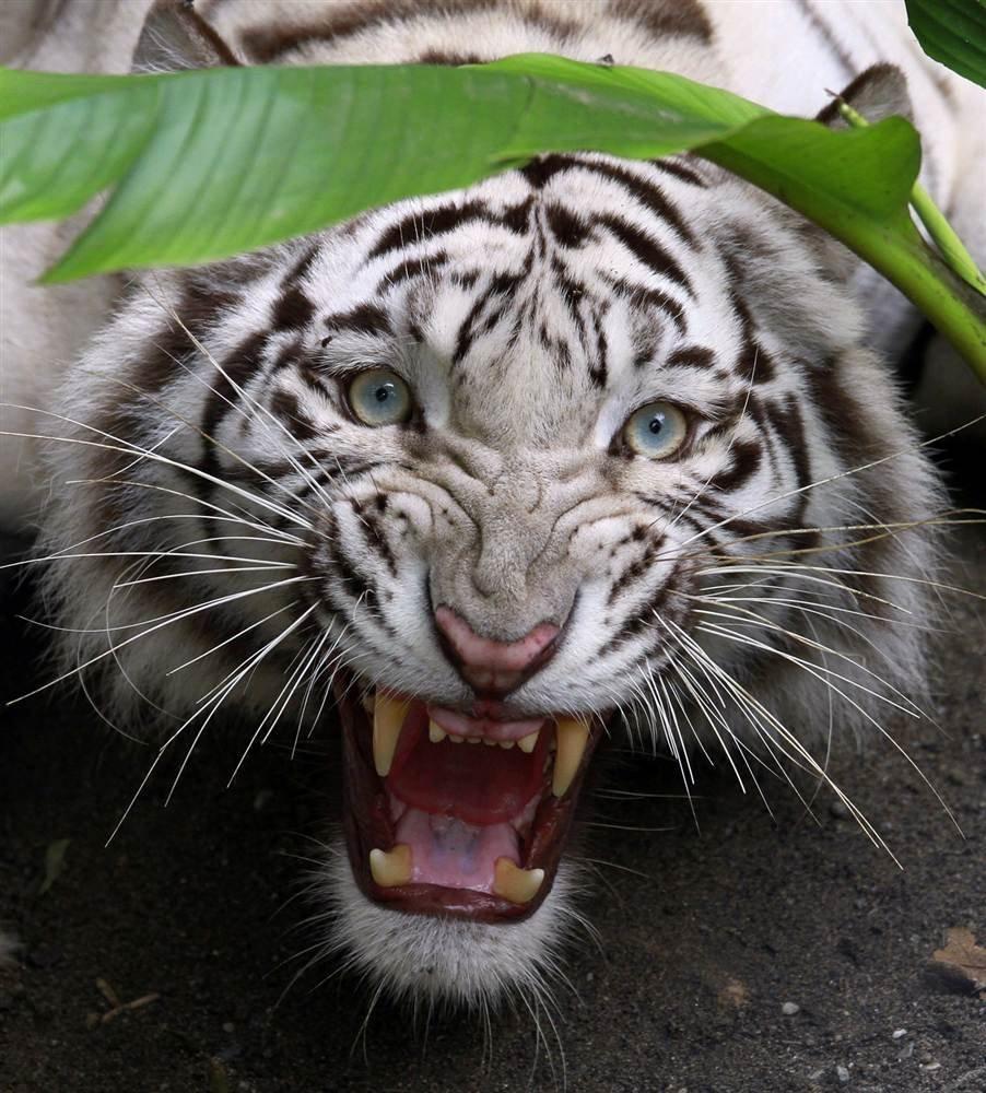 Бенгальский тигр (Panthera tigris bengalensi) — особый подвид тигра, обитающий в Северной и Центральной Индии, Бирме, Непале, на территории Бангладеш и Сундарбана (в окресÑ'носÑ'ÑÑ ÑƒÑÑ'ья реки Ганг).
