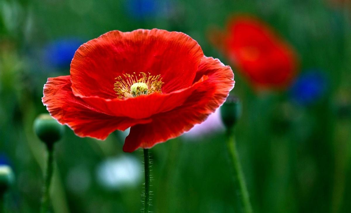 Красивые цветы открытки маки