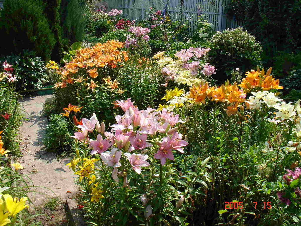 лилии в саду оформление клумбы солнышко