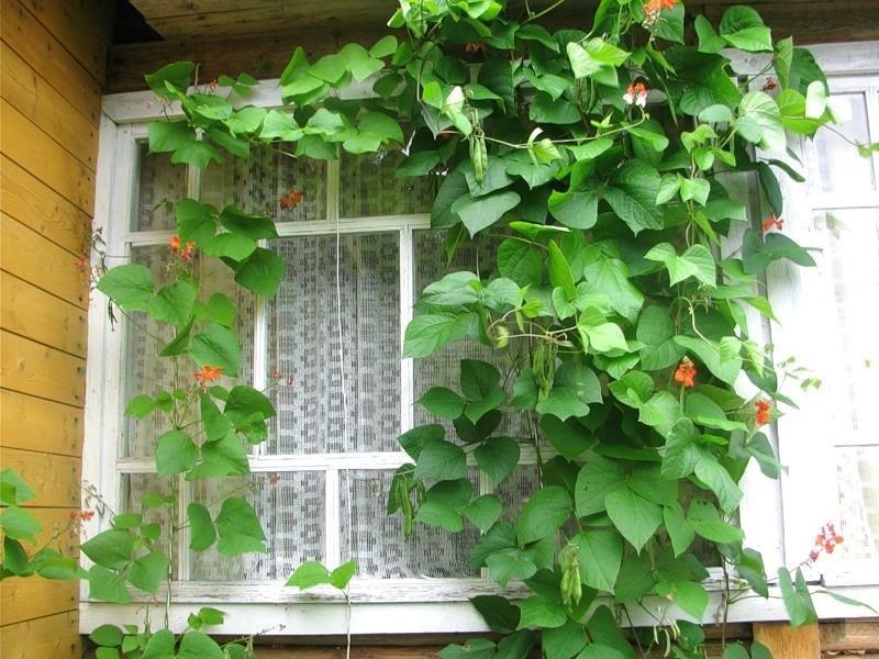 Для красоты и пользы: вьющиеся растения для дачи.