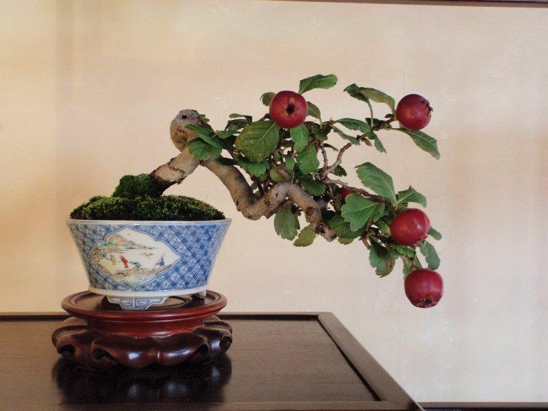 бонсай яблоня