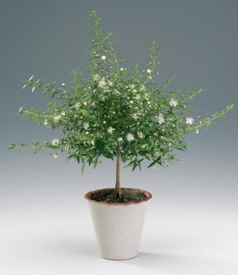 миртовое комнатное дерево фото