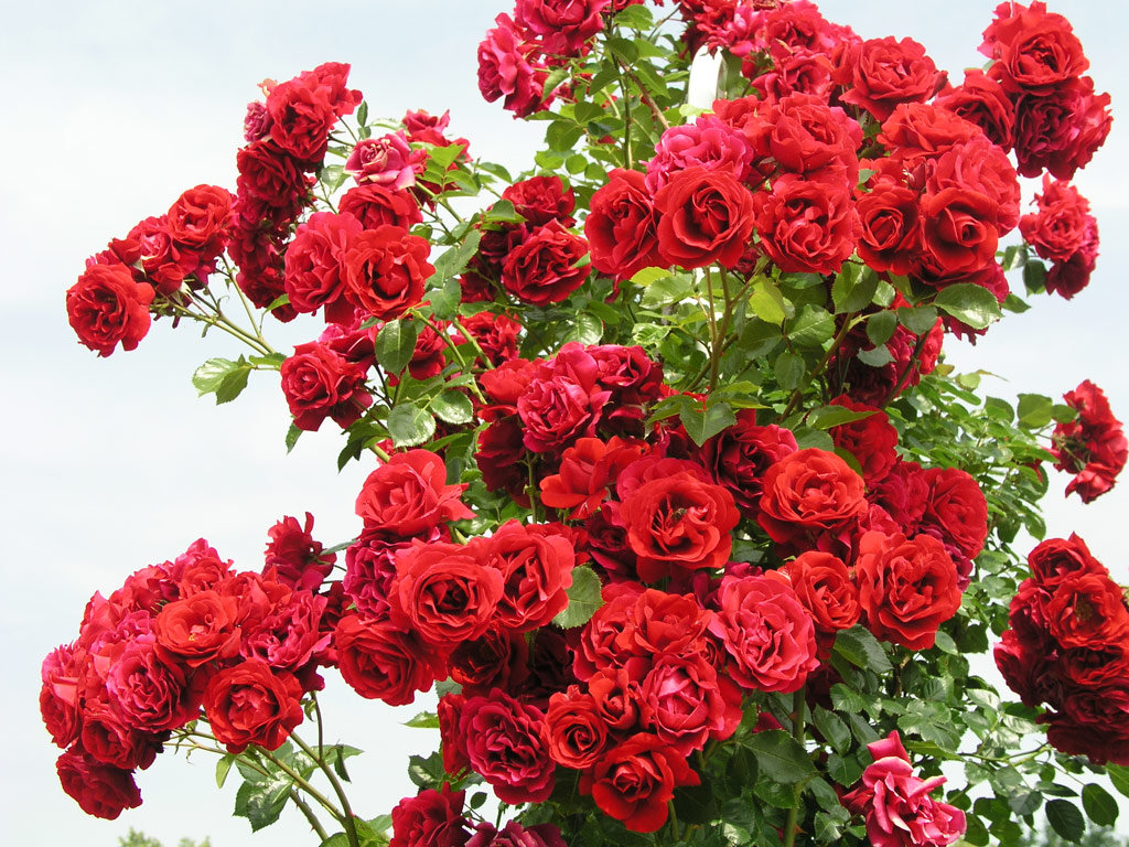 Вьющаяся роза картинки