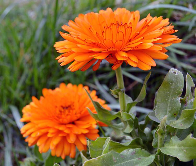 стала широко ноготки цветы полезные фото травы