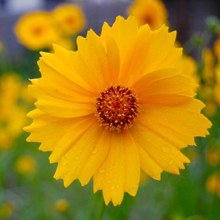 желтые садовые цветы картинки отделе