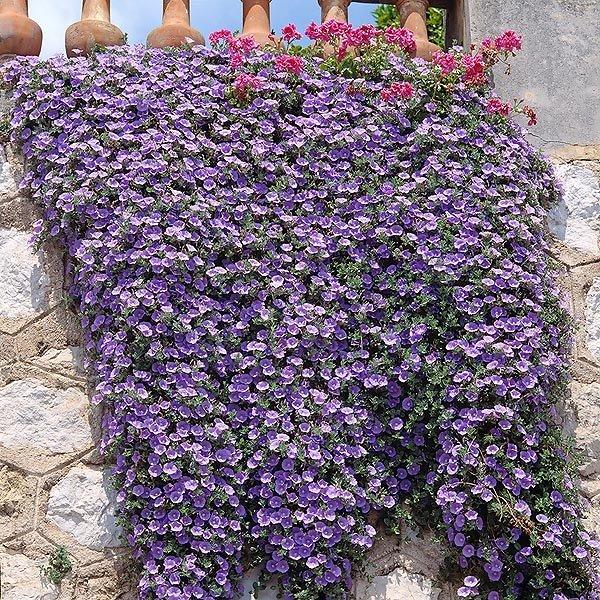 цветок вьюнок комнатный фото