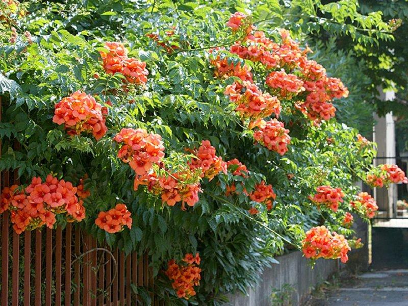 южные кустарники цветущие фото сантехники производителя