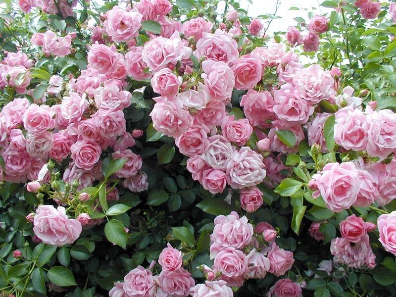 Плетистая роза  rozyisadru