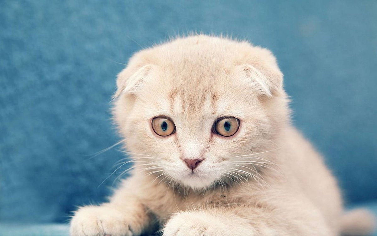 картинки на телефон котята вислоухие является самой