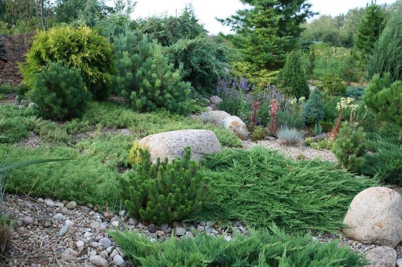 Растения хвойные и вечнозеленые для сада