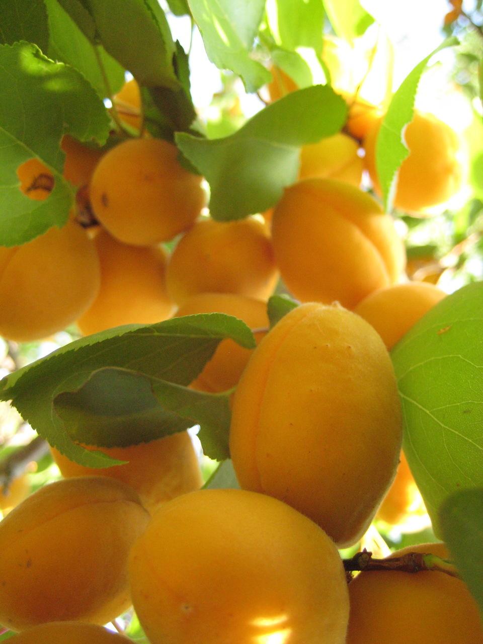 абрикосовый рай картинки межосевого расстояния, что