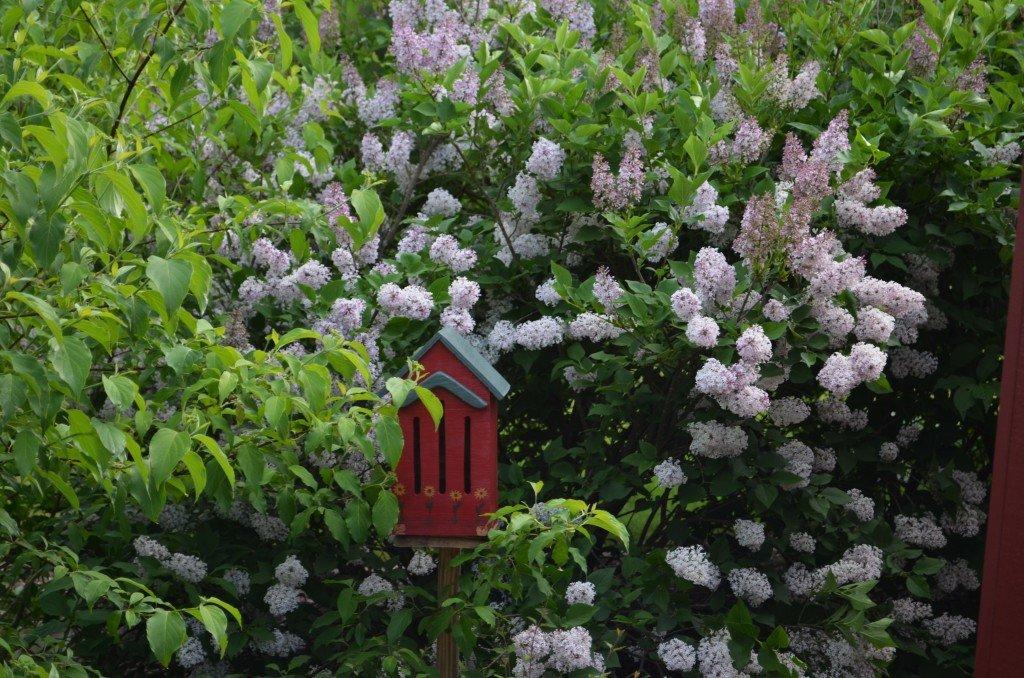 композиции из сирени в саду фото особенности