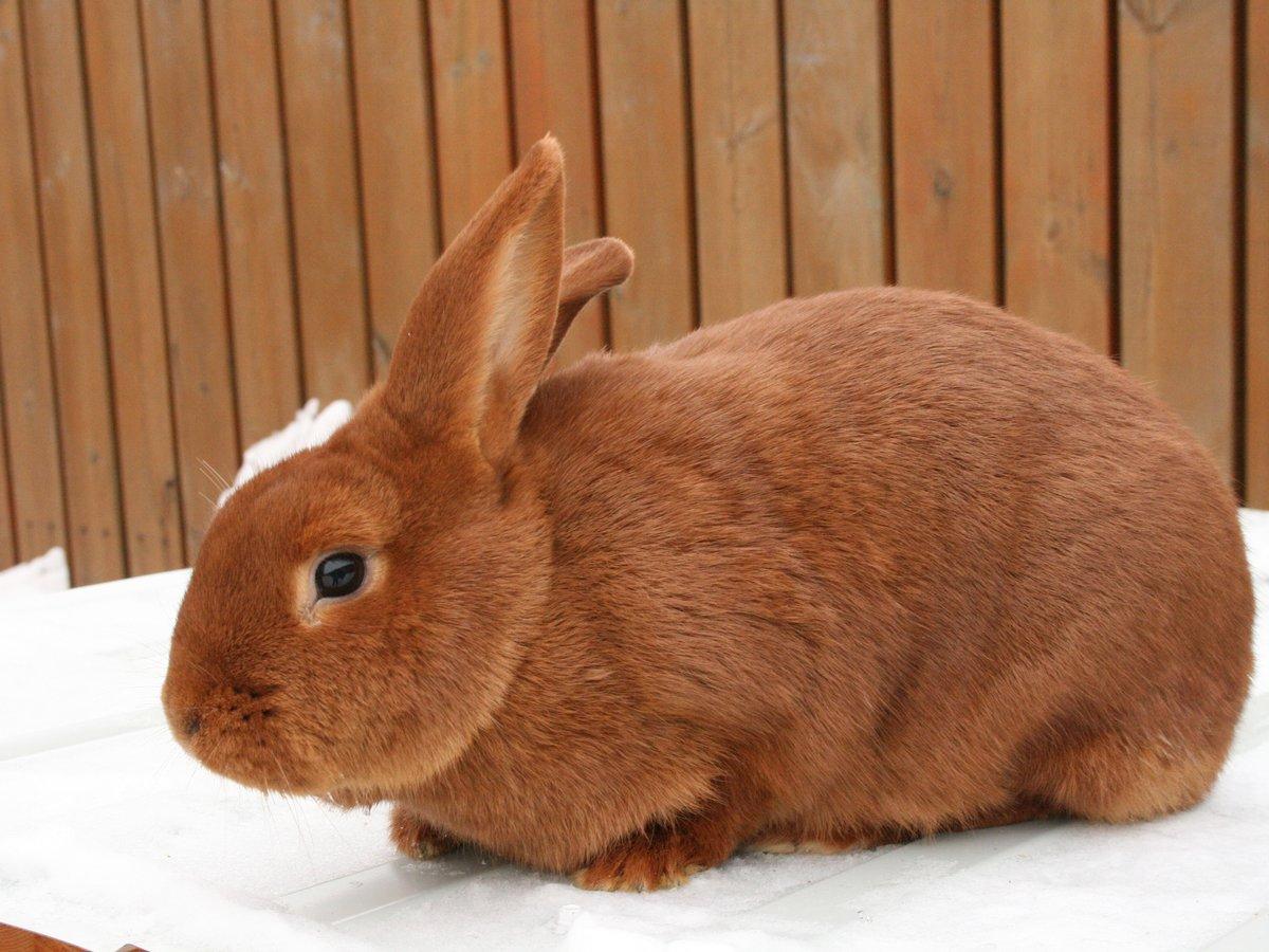 первоначальный картинка красного кролика смешно