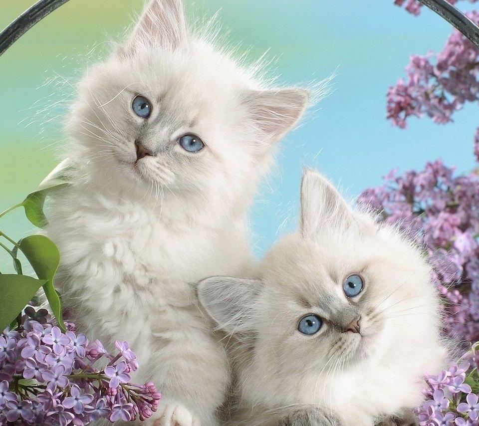 белые красотки, пушистые, котята, сирень, животные, взгляд, кошачьи, глаза
