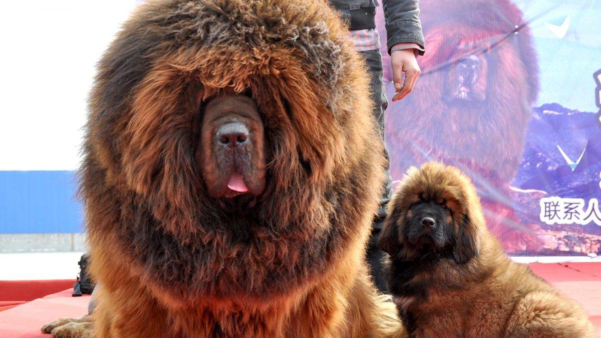 Тибетский мастиф цена в россии