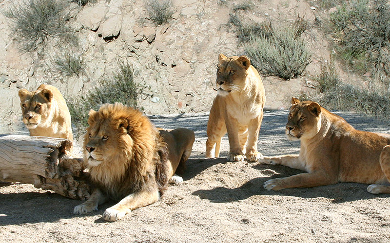 из-за чего карла льва назвали львом кокетку рубашке следует