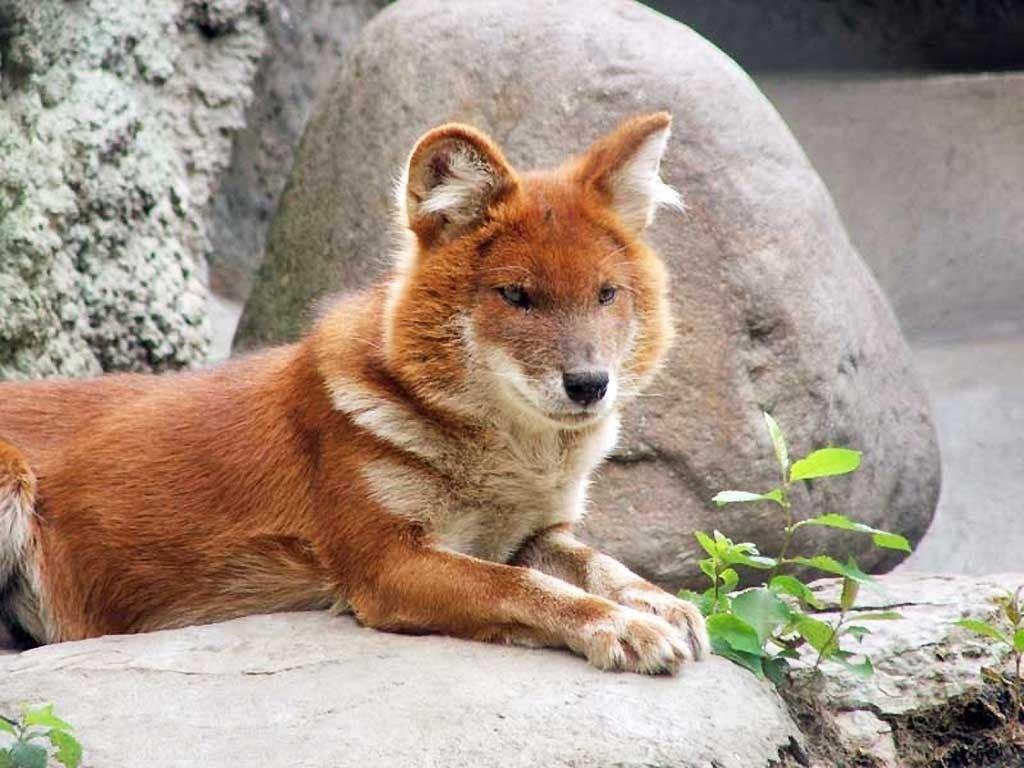 Горный волк фото и описание