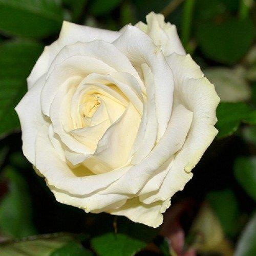Роза чайно-гибридная Аваланж.