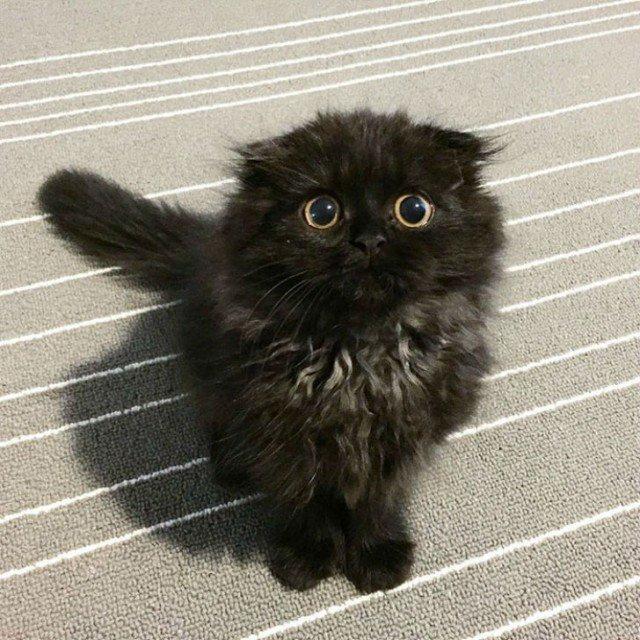 Кот по кличке Гимо является обладателем невероятно больших желто-зеленых глаз, из-за которых он практически всегда выглядит удивленным. Удивление никогда не сходит с «лица» этого милого комочка шерсти, и поэтому кажется, что он удивляется всему, что видит.