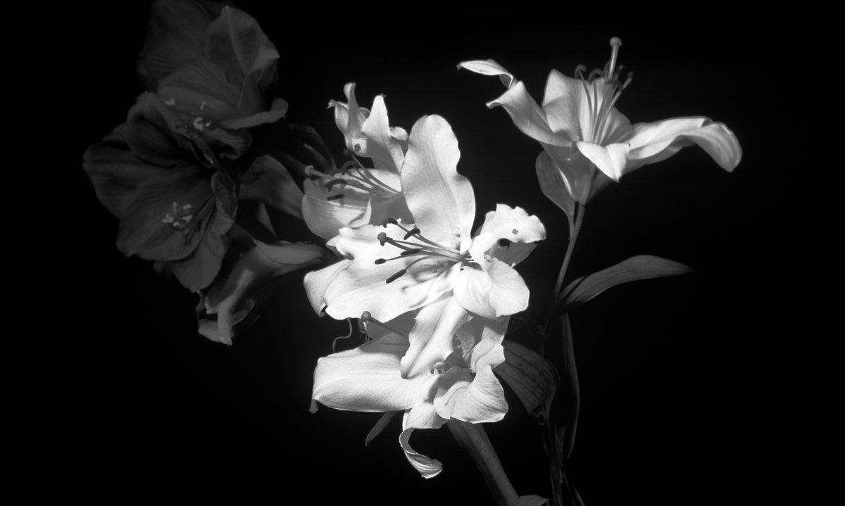 Картинки черно-белые цветы лилии, картинка про