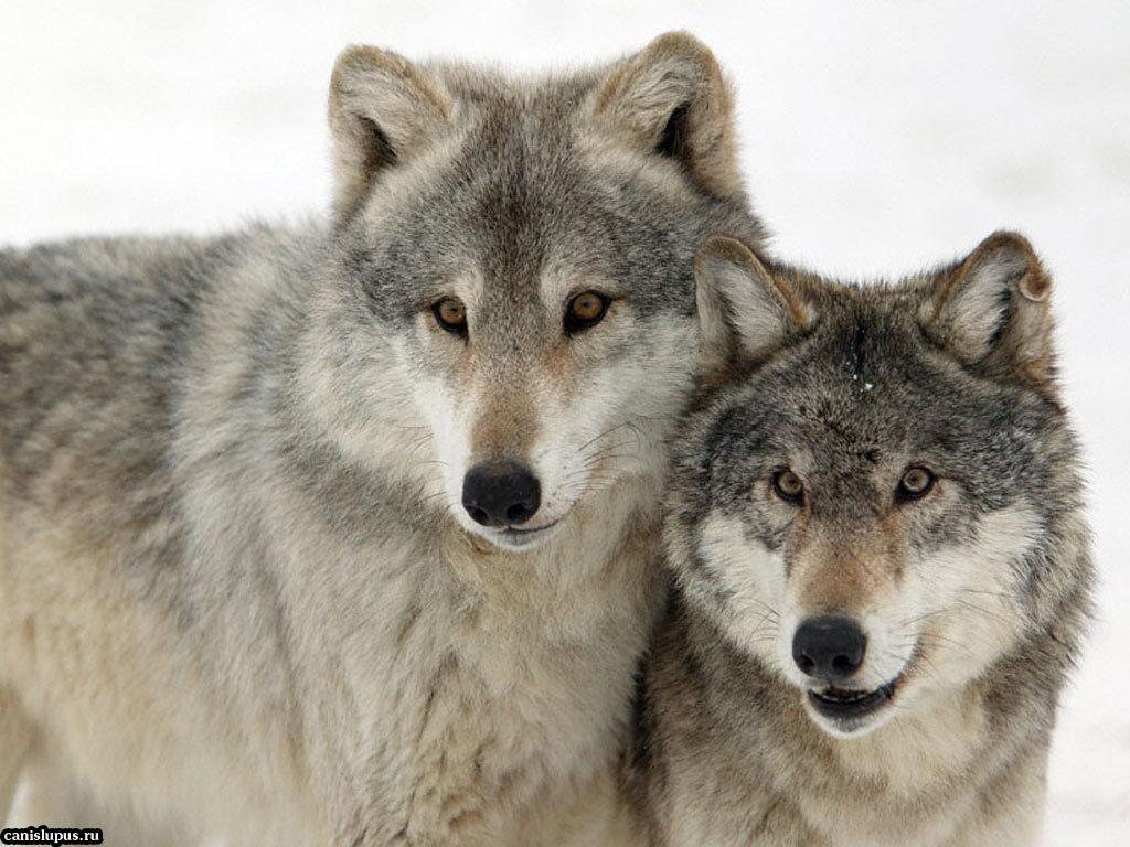 Картинки волков пара