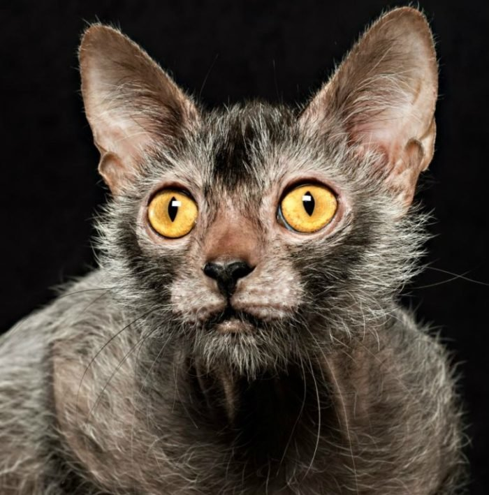 Ликои – это очень специфическое животное, но, несмотря на это, кошки данной породы ласковы и добры, как и все кошачьи.