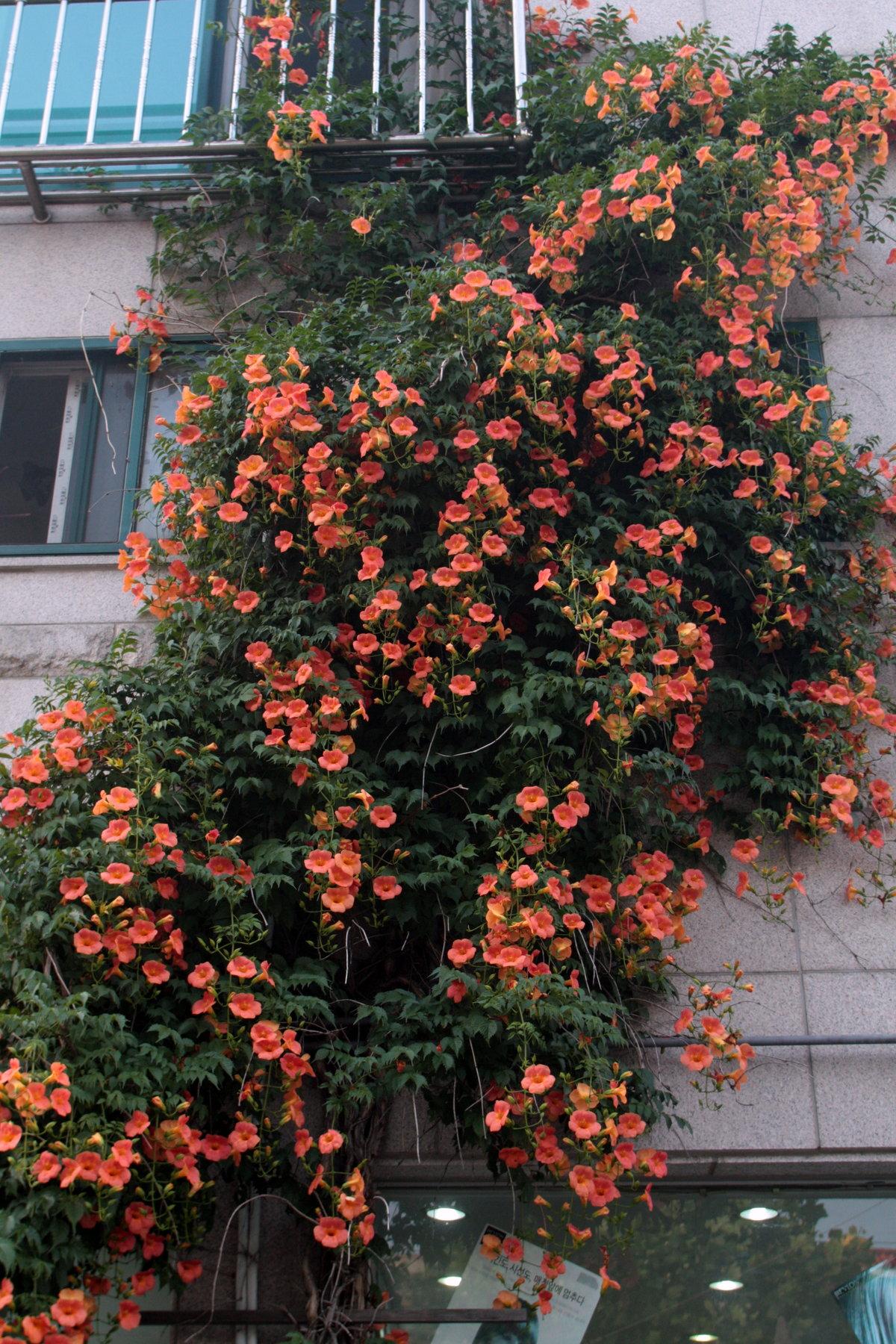 цветущие лианы фото с названиями понравился