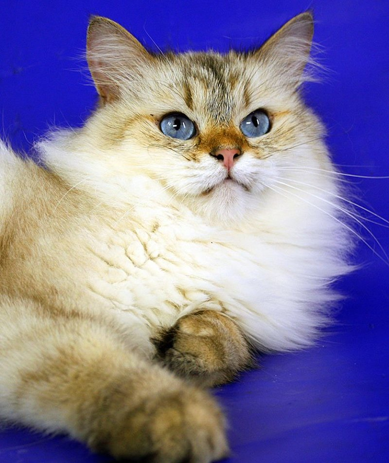 Здоровая порода котов