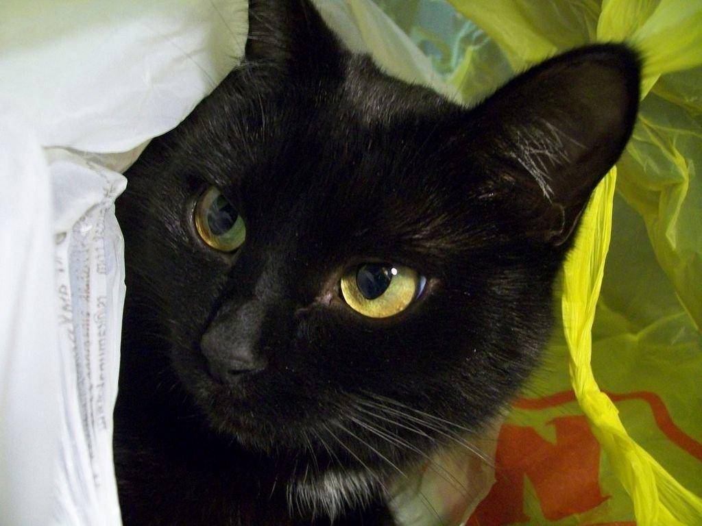 black cat breeds - 830×623