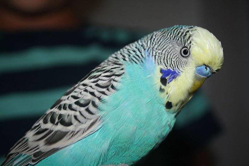 вам разновидности волнистых попугаев с фото мембранный термокостюм