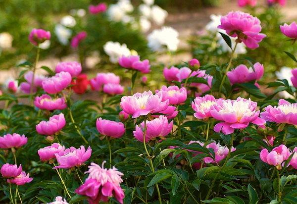 Каталог садовых цветов фото