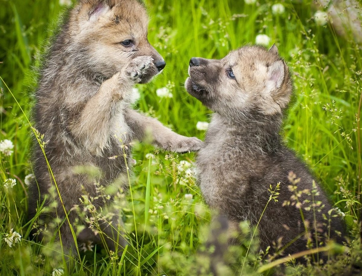 Путина, картинка с волчатами