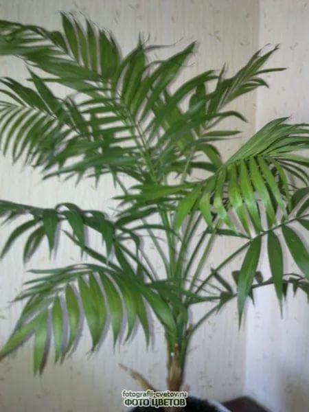 цветов названиями фото пальм с