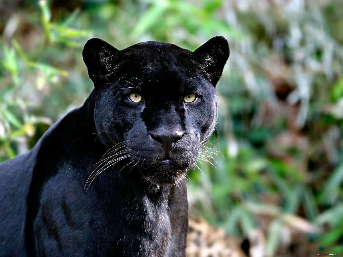 Днем, картинки пантеры черной