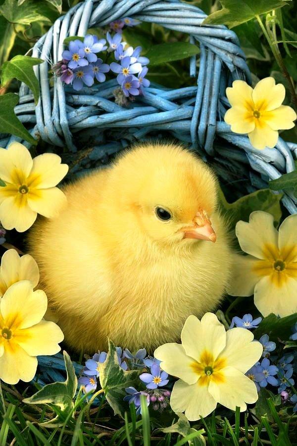 Для, веселые картинки с цыплятами