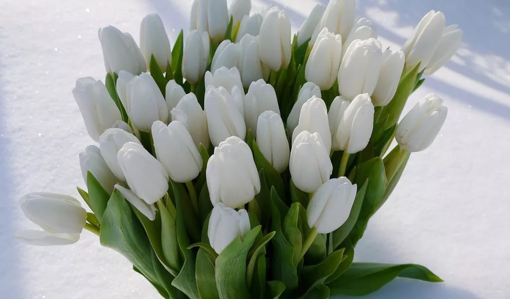 сентендре фото с белыми тюльпанами лучи своей
