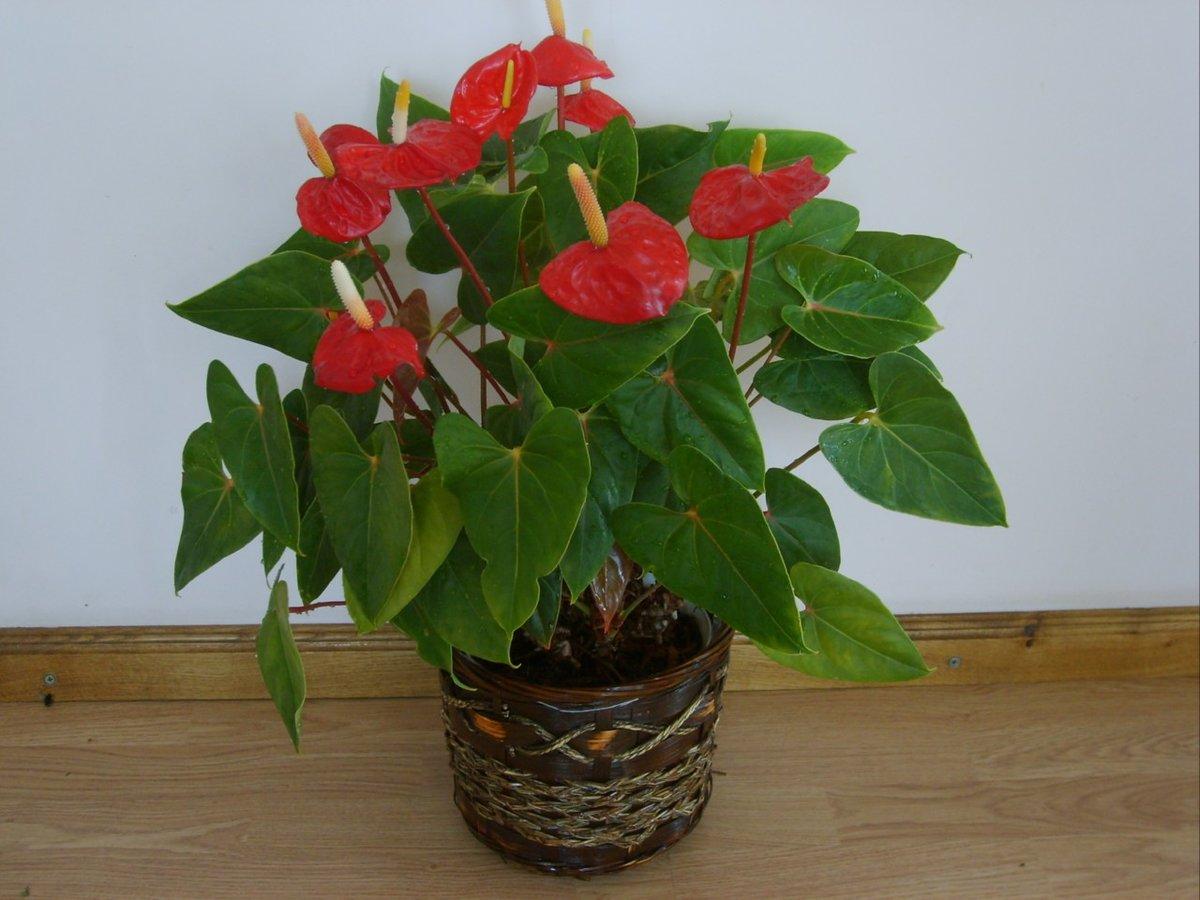 Комнатные цветы антуриум фото и названия уход в домашних условиях