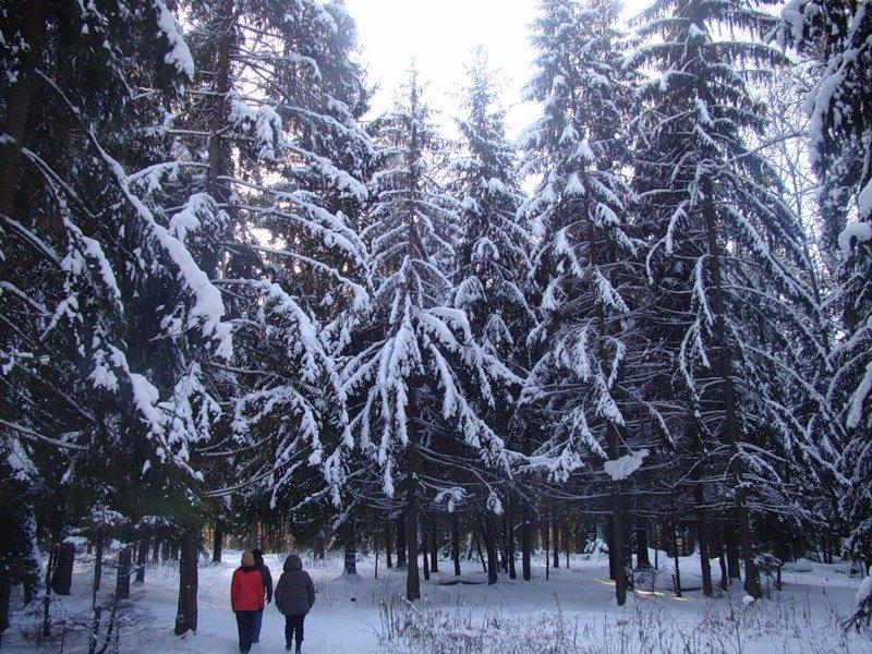 Еловый лес   Любучаны (поселок) (Чеховский район)