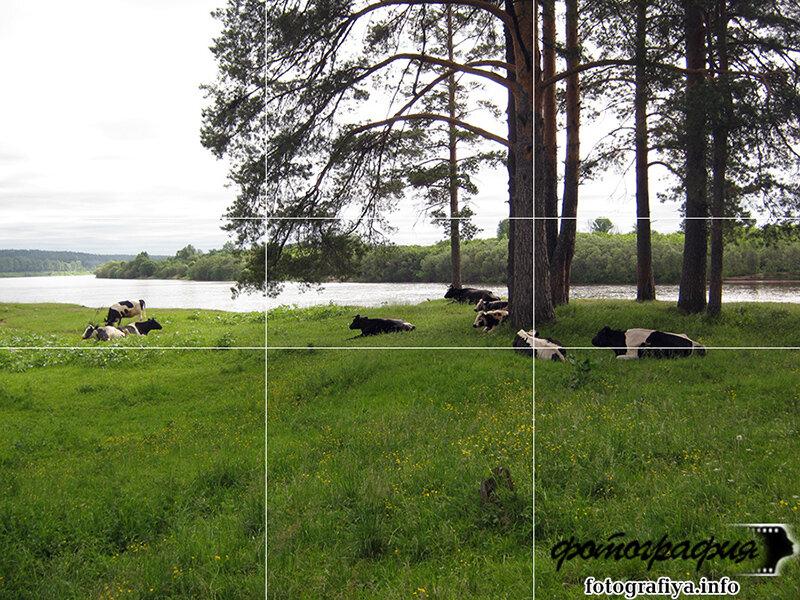 Коровы на выгуле (Сосновый бор)