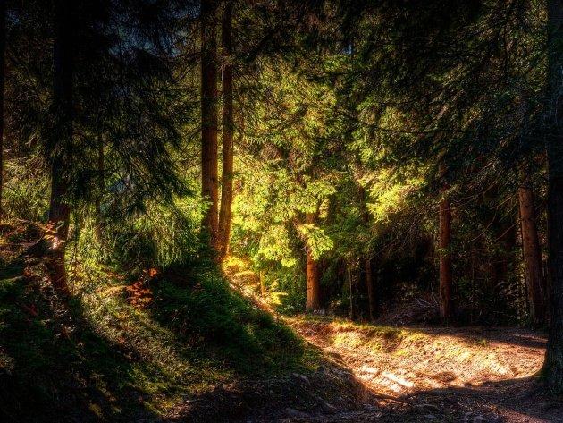 Обои Хвойный лес, фото, картинки