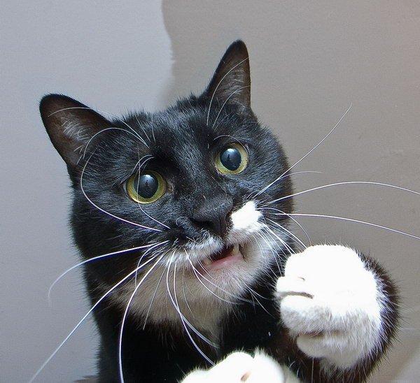 Очень смешной кот))) / Фото кошек / CATFOTO.COM фотографии кошек и котят, дикие кошки, блоги любителей кошек