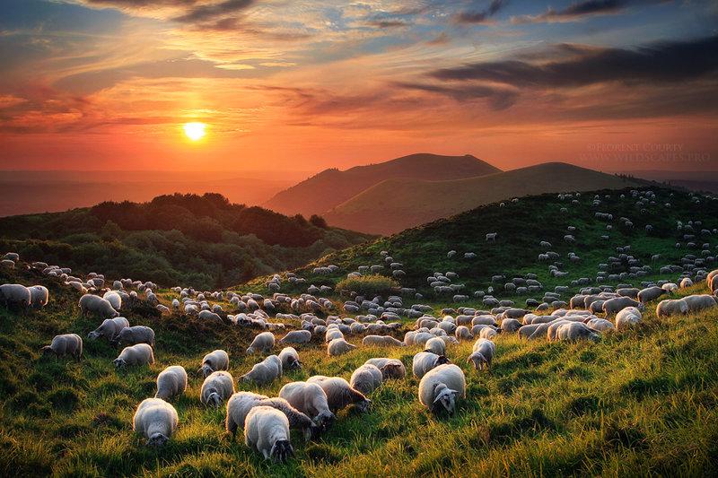 Овцы на спящих вулканах Франции / Фото дня