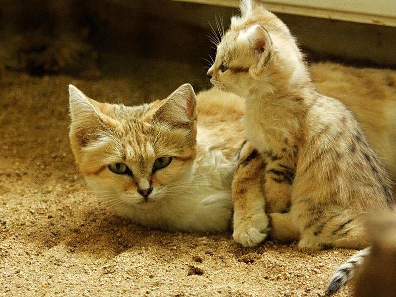 Песчаные коты — Блог участника Marusssya — Сайт домашних животных petpet.ru