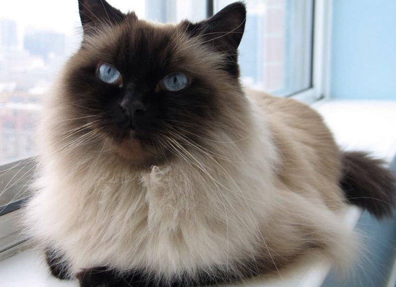 фото гималайская кошка