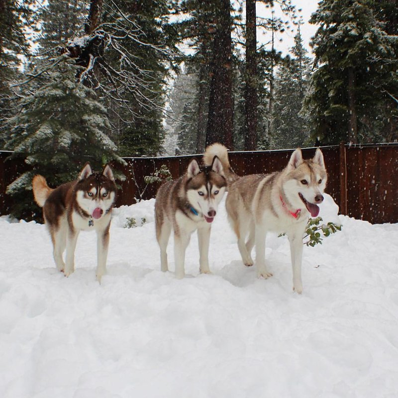 Lilo, Infinity, & Rosie (@lilothehusky) • Instagram photos and videos