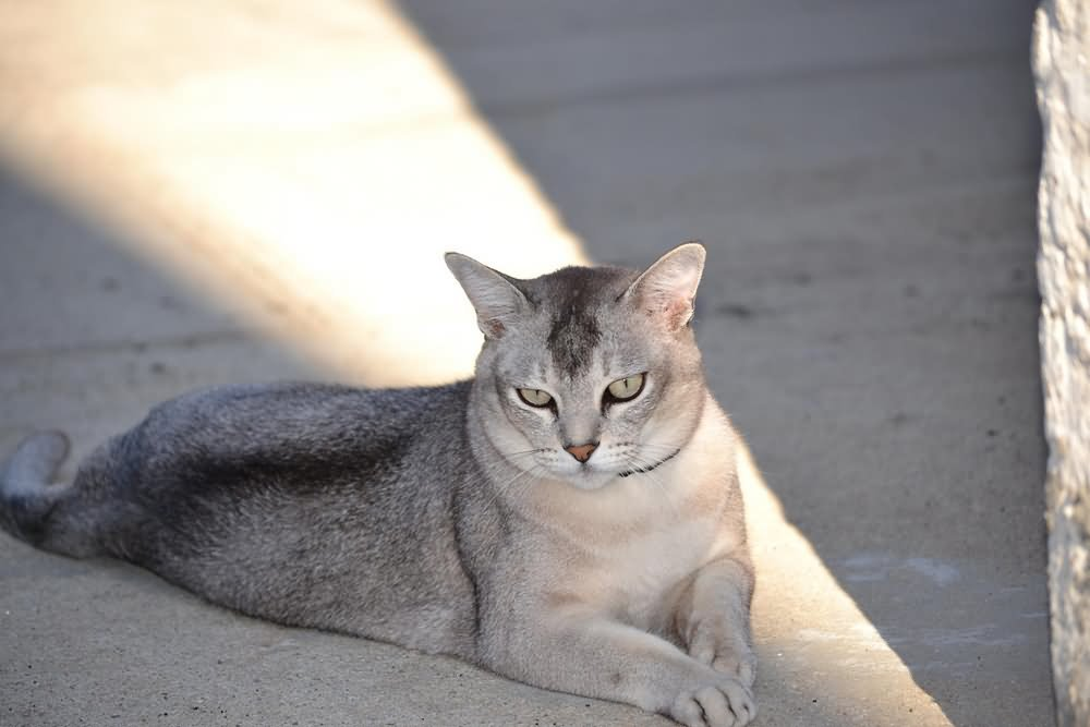 тоже порода кошек бурмилла короткошерстная картинки аллея