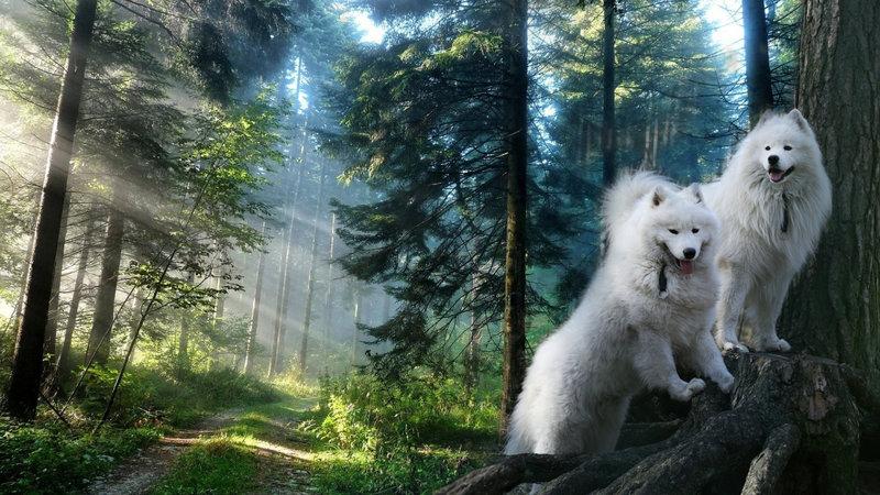 """Сайт питомника Самоедской собаки """"Белый Волк"""""""